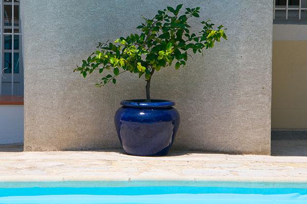 a lemon tree beside the swimming pool